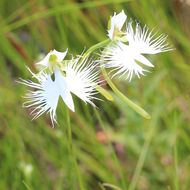 Image of Fringed orchid