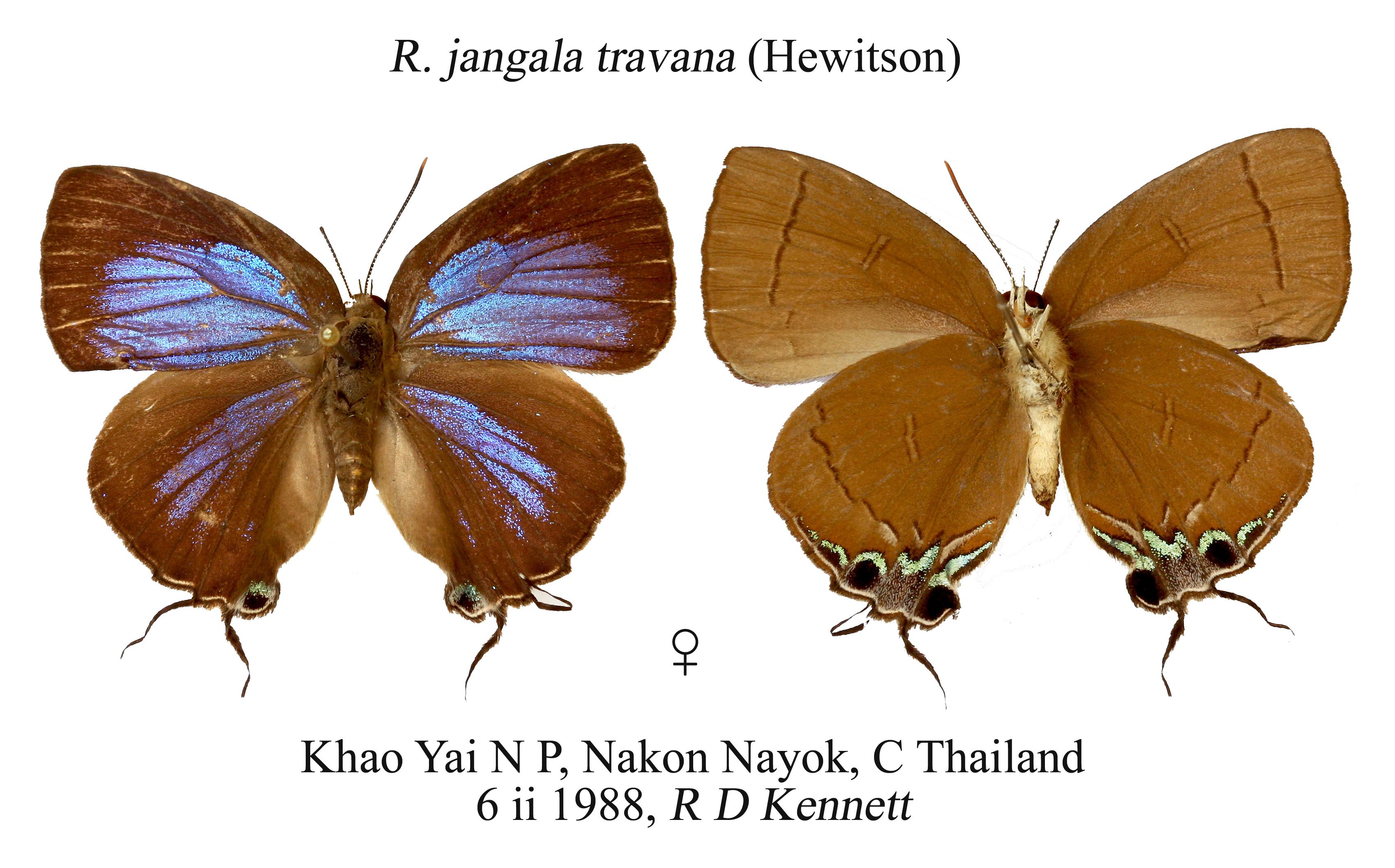 Image of <i>Remelana jangala</i> (Horsfield 1829)