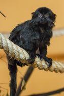 Image of Goeldi's marmoset
