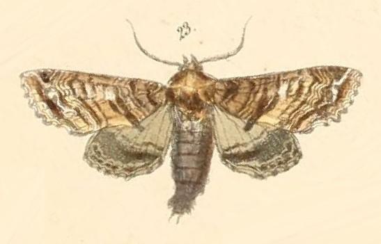 Image of <i>Eutelia geyeri</i> Felder & Rogenhofer 1874
