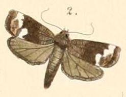 Image of <i>Imma albofascia</i> Felder 1861