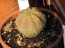 Image of <i>Euphorbia obesa</i> Hook. fil.