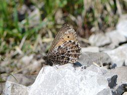 Image of Alpine Grayling