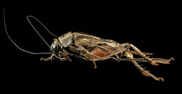 Image of Field Crickets