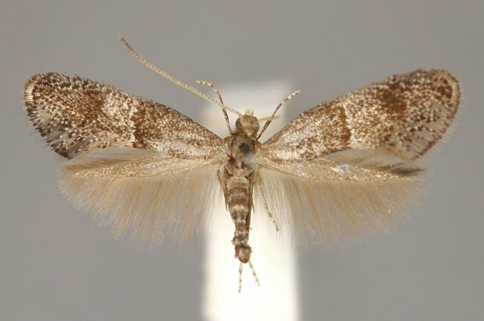 Image of <i>Tinagma perdicella</i> Zeller 1839
