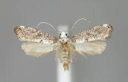 Image of <i>Paraswammerdamia albicapitella</i> (Scharfenberg 1805) Scharfenberg 1805