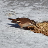 Image of White-winged Cinclodes