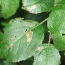 Image of <i>Stigmella desperatella</i> (Frey 1856) Beirne 1945