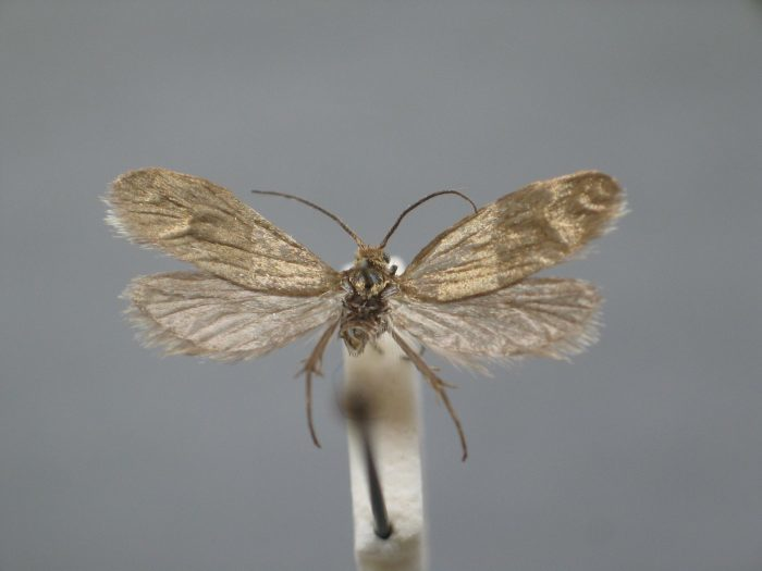 Image of <i>Lampronia splendidella</i>