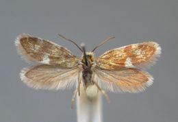 Image of <i>Eriocrania alpinella</i> Burmann 1958