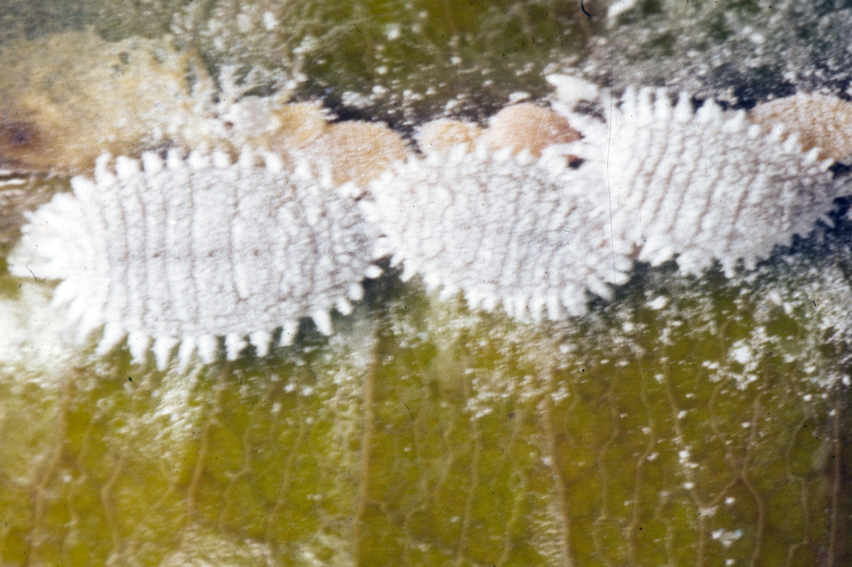 Image of Citrus mealybug