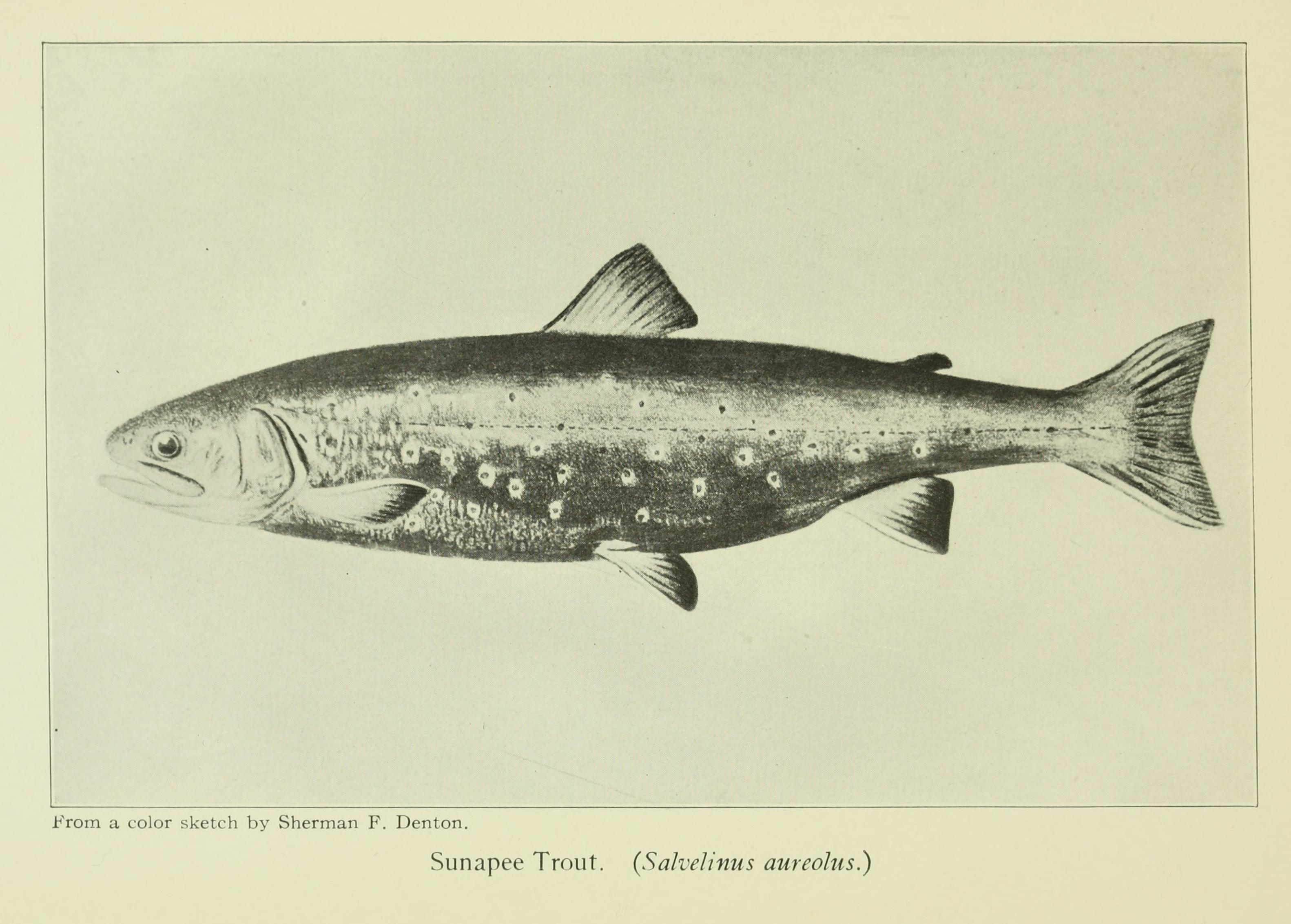 Image of arctic char