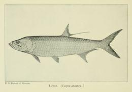Image of Tarpon