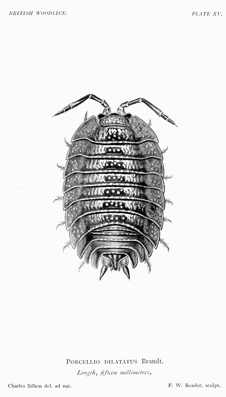Image of <i>Porcellio dilatatus</i> Brandt 1831