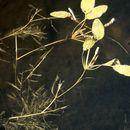 Image of Various-leaved Pondweed