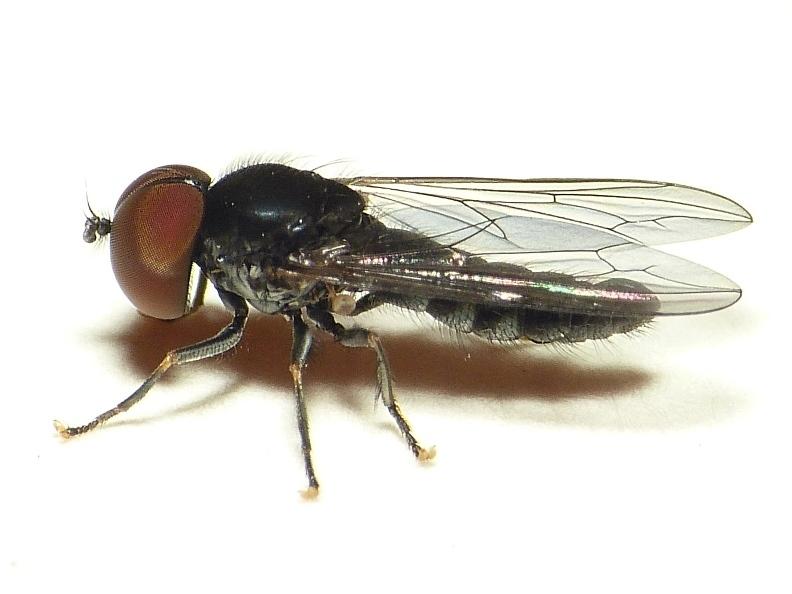 Image of <i>Verrallia aucta</i> (Fallen 1817)