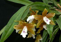 Image of <i>Miltonia candida</i> Lindl.