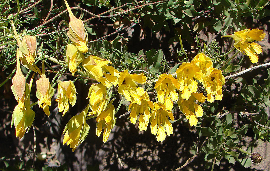 Image of <i>Tropaeolum leptophyllum</i> G. Don