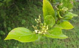 Image of <i>Premna serratifolia</i> L.