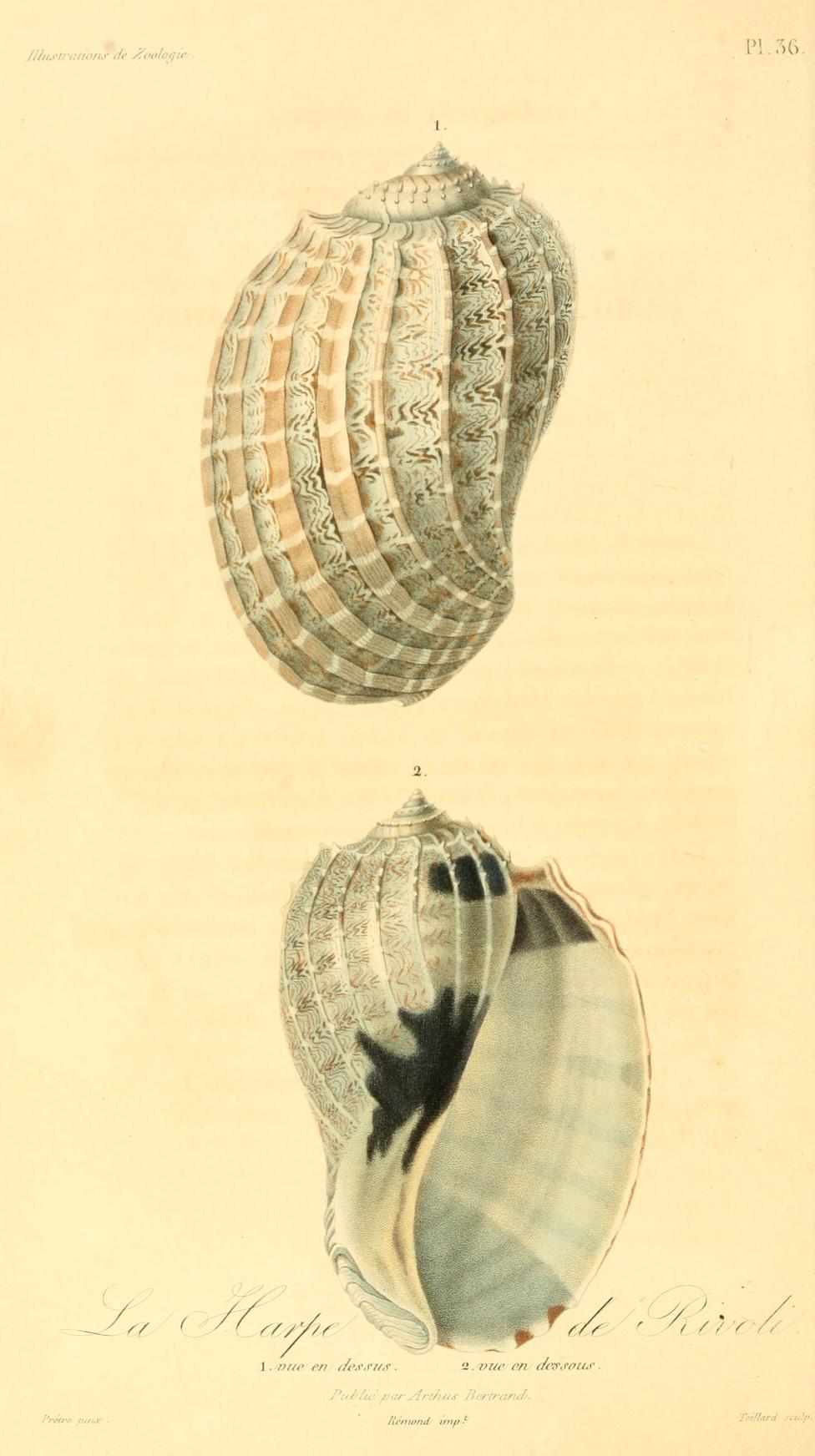 Image of <i>Harpa crenata</i> Swainson 1822