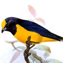 Image of Finsch's Euphonia