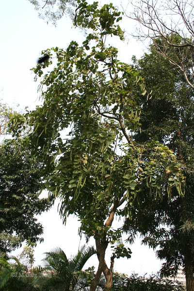 Image of Butterfly-tree