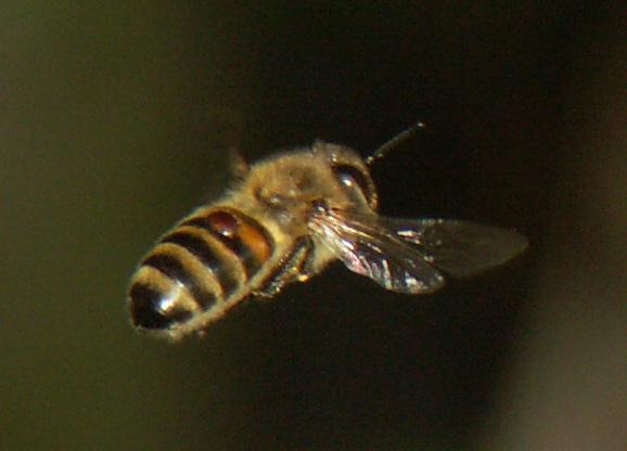Image of Varroa Honey Bee Mite