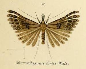Image of <i>Microschismus fortis</i> Walsingham 1881