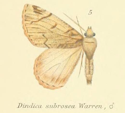 Image of <i>Dindica subrosea</i> Warren 1893