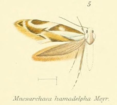 Image of <i>Mnesarchaea hamadelpha</i> Meyrick 1888