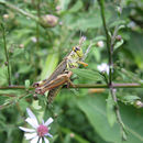 Image of common blue wood aster