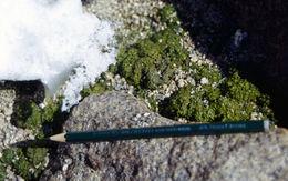 Image of Prasiola