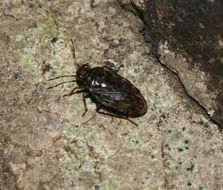 Image of common shorebug