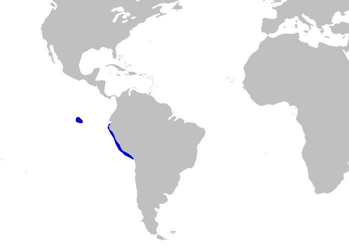 Image of Galapagos Bullhead Shark