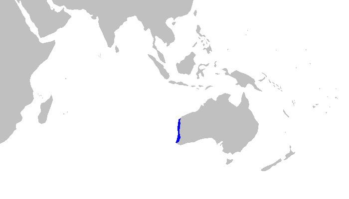 Image of Western Wobbegong