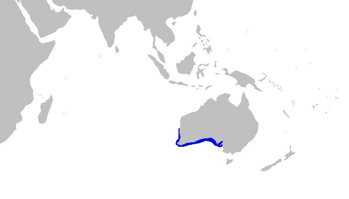 Image of Cobbler Carpet Shark