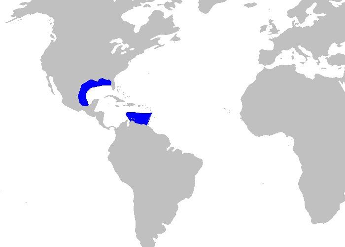 Image of Caribbean Roughshark