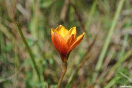 Image of Rio Grande copperlily