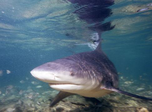 Image of Bull Shark