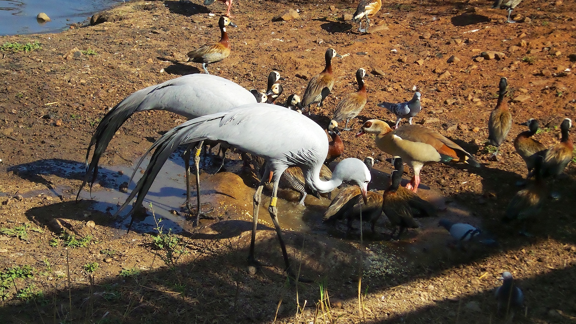 Image of <i>Anthropoides paradiseus</i>