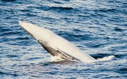 Image of Dwarf fin whale