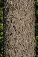 Image of checkertree