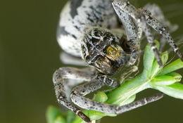 Image of <i>Stegodyphus lneatus</i>