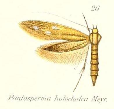 Image of <i>Pantosperma holochalca</i> Meyrick 1888