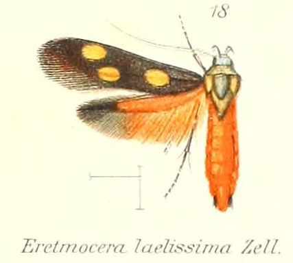 Image of <i>Eretmocera laetissima</i> Zeller 1852