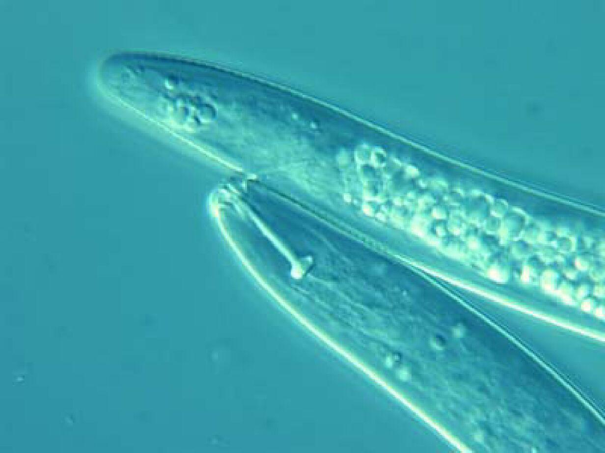 Image of Pratylenchus