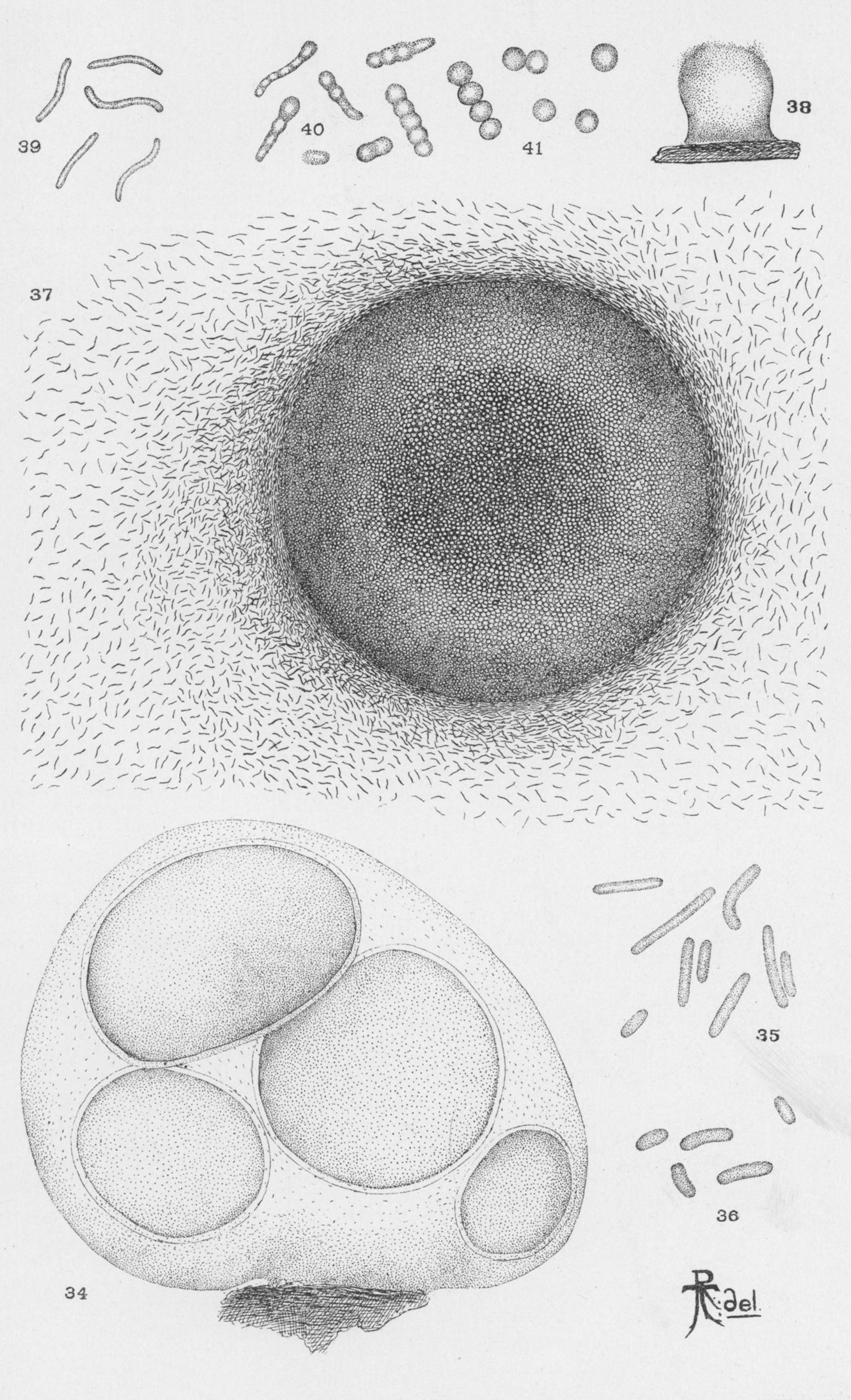 Image of fruiting gliding bacteria