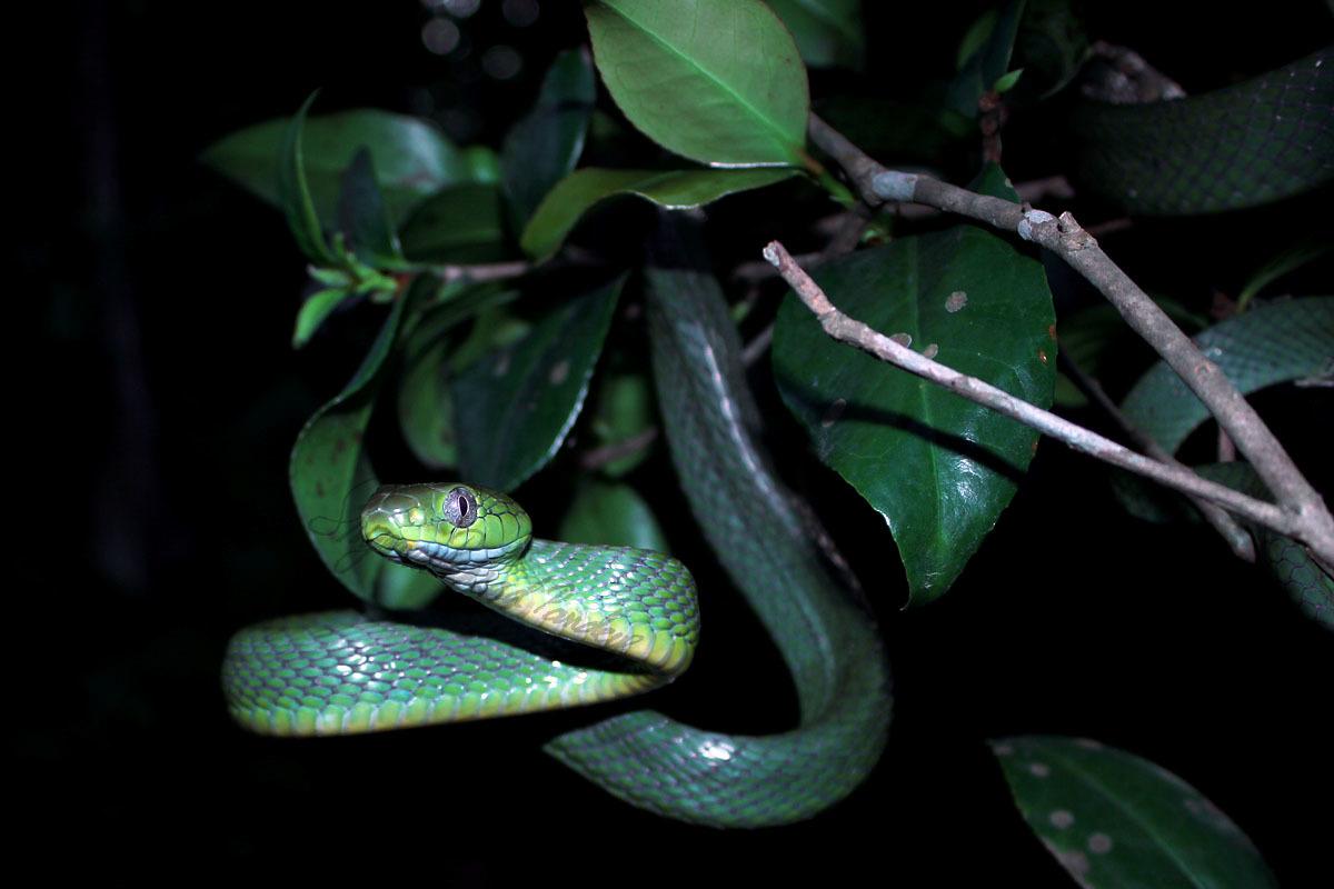 Image of Green Cat Snake