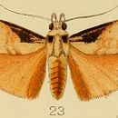Image of <i>Polylophota barbarossa</i> Hampson 1906