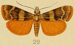 Image of <i>Stericta flammealis</i> Kenrick 1907
